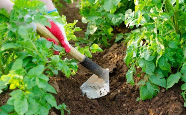 Для предупреждения появления корки - необходимо провести рыхление земли