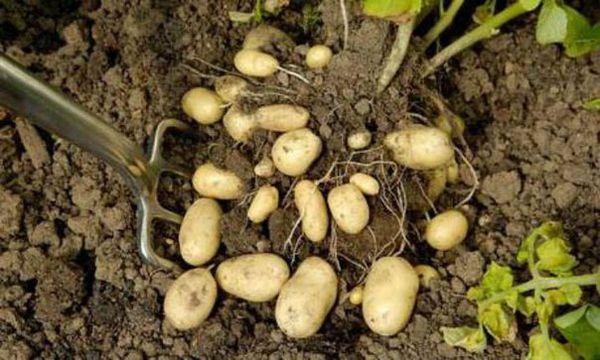 Правильная подкормка помогает довести урожайность до 100%