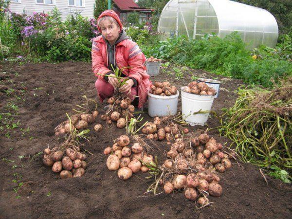 Картофель Аврора относится к среднеспелым сортам