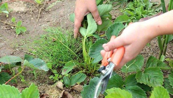 Для увеличения урожая, необходимо обрезать часть листьев и усов клубники