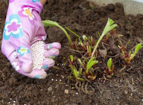После зимнего периода клубнике Машенька рекомендована весенняя подкормка органическими и азотсодержащими удобрениями