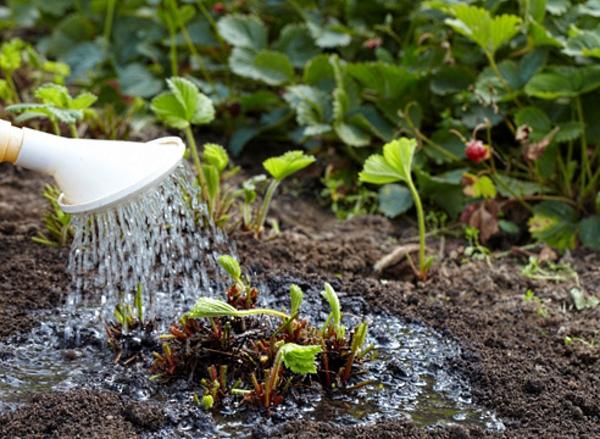 Летом поливать растение нужно 2-4 раза в неделю