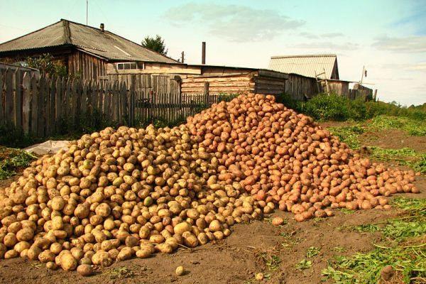 Удобрение Картофельная формула поможет получить богатый и качественный урожай картофеля