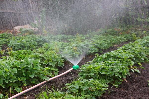 Кама относится к влаголюбивым растениям, так что полив должен происходить регулярно