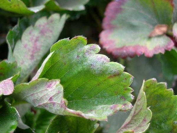 При поражении мучнистой росой-листья приобретают фиолетовый оттенок