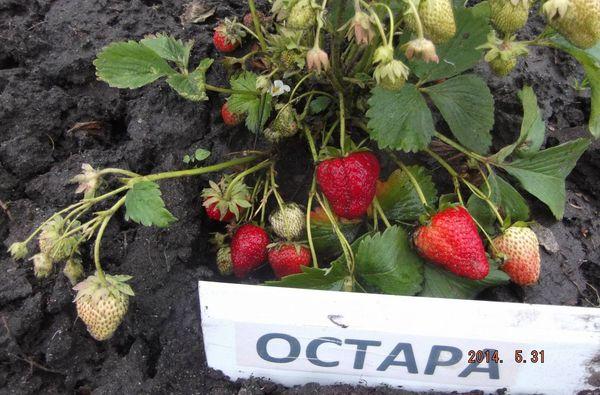 Даже молодые кустики остары из усов способны давать урожай