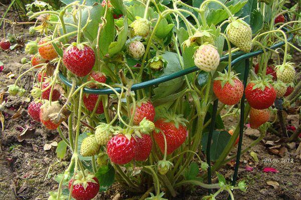 На второй год после высадки ягоды сильно мельчают