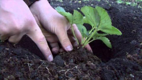 Выкапывание ростка клубники