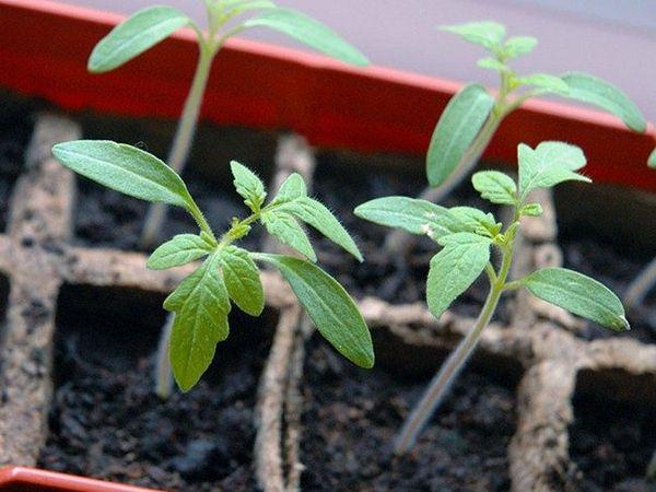 Рассаду пересаживают по мере развития корневой системы