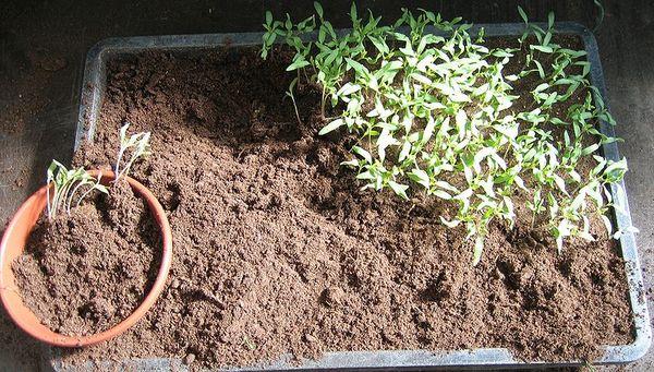 Высевание семян в общую емкость и последующее пикирование