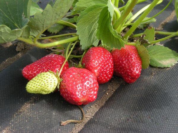 Под черной пленкой ягоды клубники быстрее спеют