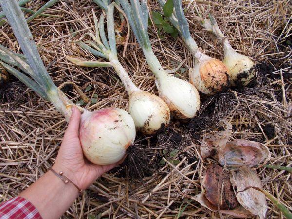 Если полив был правильно организован, то луковицы получатся вкусными и сочными