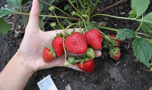 Подкормка клубники: подкормка весной, чем обработать, чем подкормить для лучшего урожая