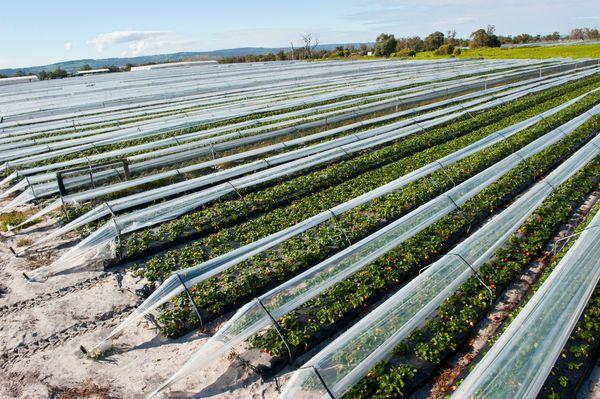 Минеральные удобрения стоит использовать при промышленном выращивании клубники