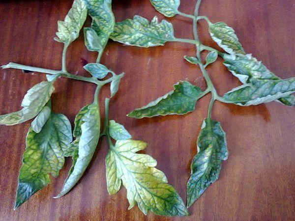 При недостатке хлора на листьях томатов появляется хлороз
