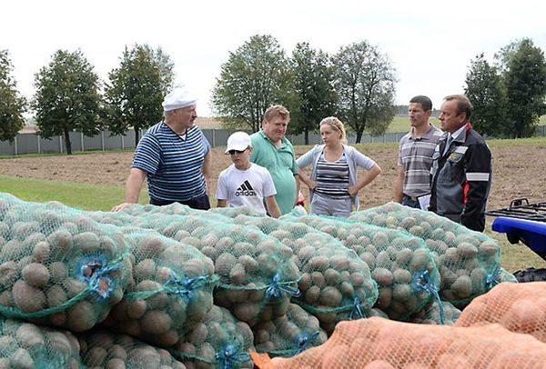 поле картошка