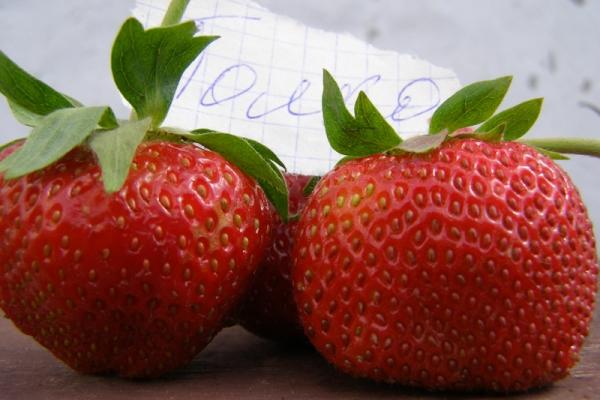 Клубника Полка: описание и характеристики, посадка и выращивание