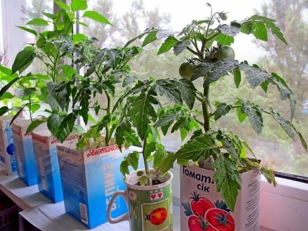 Выращивание томатов на балконе включает в себя несколько этапов