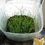 Сеянцы из семян высаживают в грунт в мае