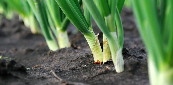 Для хорошего урожая необходимо регулярно проводить удаление сорняков и рыхление