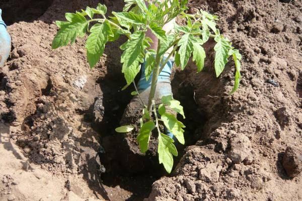Посадка рассады помидор в грунт