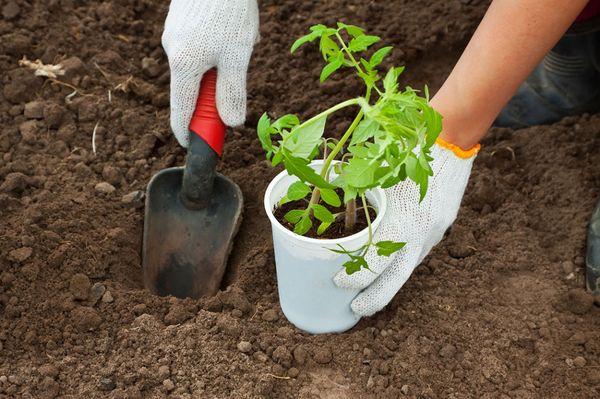 Чтобы получить здоровую рассаду, нужно сеять ее в срок