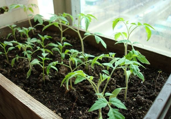 В домашних условиях рассаду можно выращивать на хорошо освещенном подоконнике