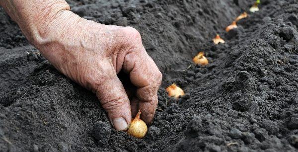 Посаженный в конце лета или начале осени лук отличается высокой всхожестью