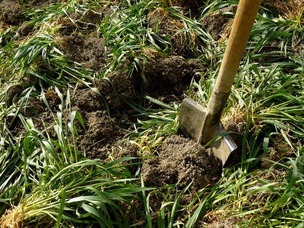 Высадка седельных культур поможет насытить почву гумусом