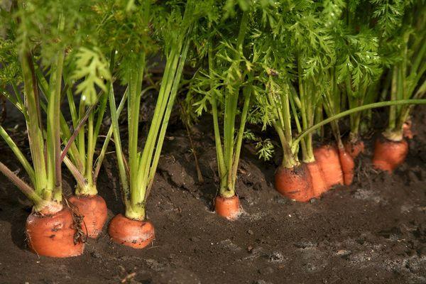 Лучшей культурой для посадки после клубники является морковь