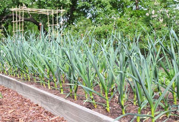 В первый сезон после клубники рекомендуется посадить чеснок