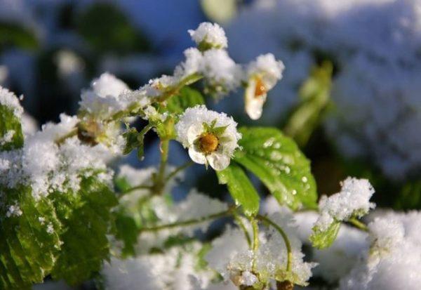 Цветок клубники под снегом