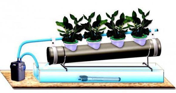 Способ выращивания основан на методе гидропоники