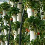 При выращивании в трубах клубника не загрязняется землей