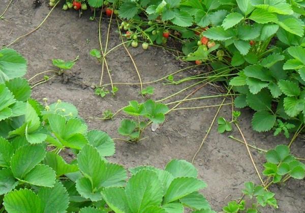 Во время сбора урожая хорошие кусты отмечаются, усы от них укореняют