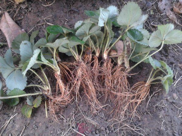 Ростки готовые для посадки в грунт