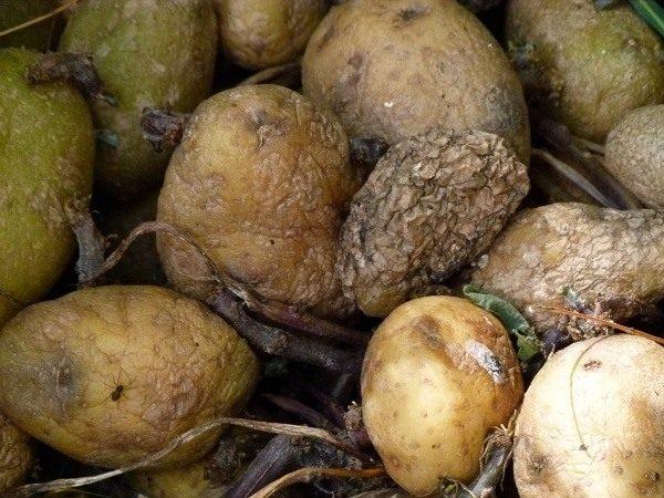 Снимаем верхний слой подмерзшего картофеля, отсортированные клубни, тщательно моем и сушим