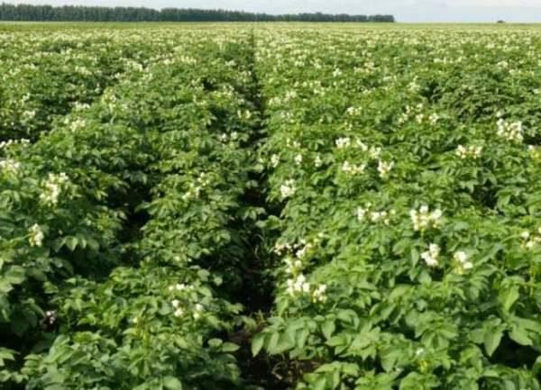 Кусты картофеля Импала очень высокие и достаточно густые