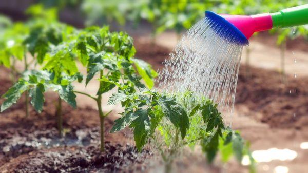 Растению необходим умеренный полив
