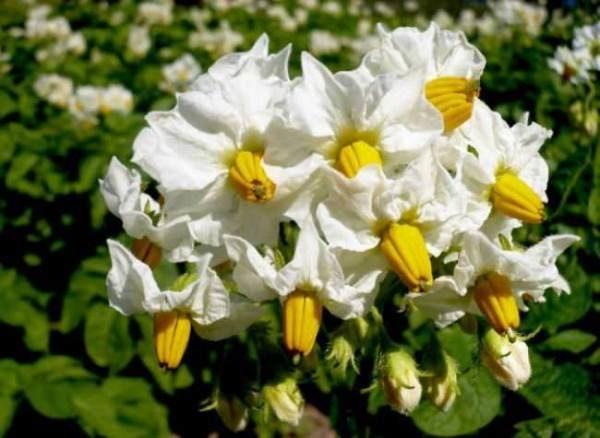 Венчики цветов картофеля Тулеевский чаще всего очень крупных размеров, белые