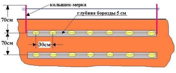 Схема посадки для картофеля Тулеевский