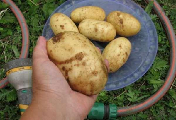 Картофель Колетте