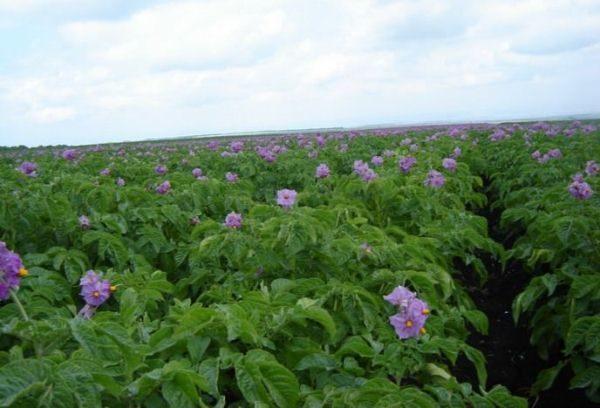Картофель Колетте обладает очень хорошим иммунитетом к возбудителям картофельного рака