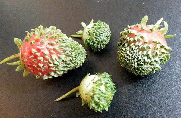 Как вырастить клубнику из семян в домашних условиях 78