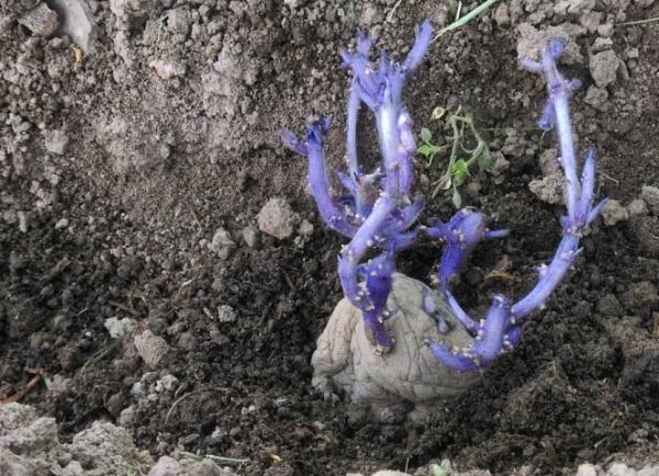 Сажать Синеглазку лучше всего в рыхлые суглинистые, супесчаные почвы в конце апреля