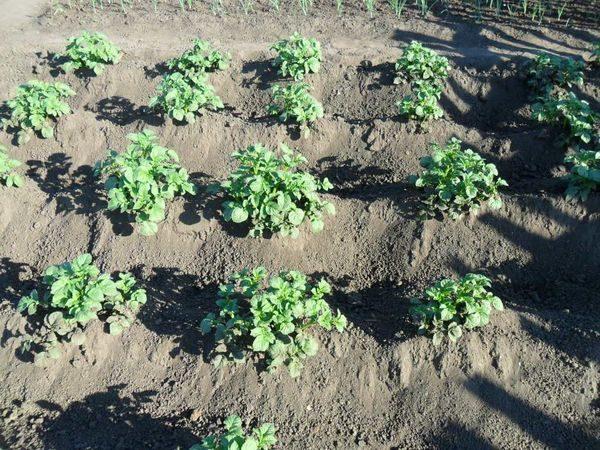 солнце картофель