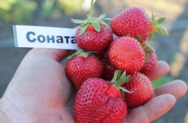 Соната может выращиваться до 5 лет без потери урожайности