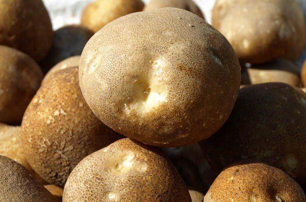 Чтобы картофель Киви был наиболее наваристый, следует использовать азотные удобрения