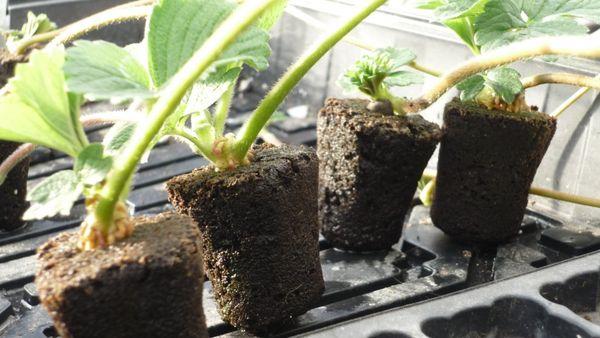 Используется не почва, а гидропонный субстрат