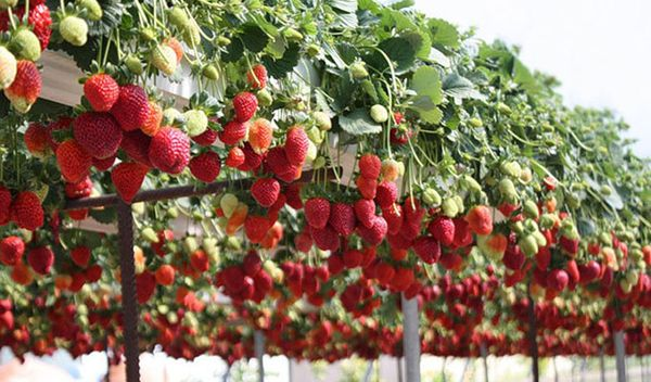 При гидропонном выращивании нет сорняков и объемы плодов очень большие